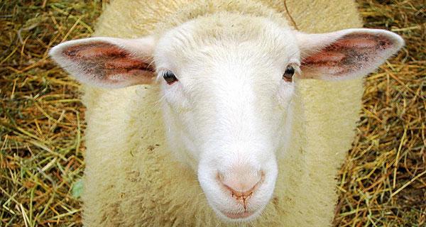 sheep looking to camera